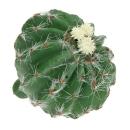 Kaktus Wessex mit weißer Blume 8 cm 469446